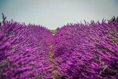 淡紫色领域在普罗旺斯 免版税库存图片