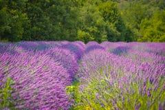 淡紫色领域在普罗旺斯 免版税图库摄影
