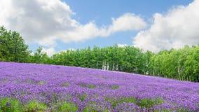 淡紫色领域在furano北海道的夏天 免版税库存照片