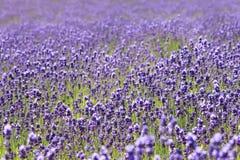 淡紫色领域在Furano,北海道 免版税库存照片