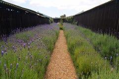 淡紫色领域在Stellenbosh,开普敦,南非 库存照片