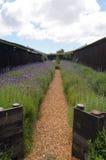 淡紫色领域在Stellenbosh,开普敦,南非 免版税库存照片