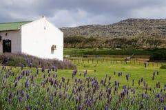 淡紫色领域在Stellenbosh,开普敦,南非 库存图片