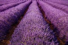 淡紫色领域开花不尽的行纹理 法国普罗旺斯 免版税库存照片