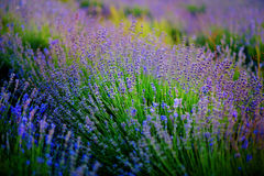 淡紫色领域的美好的图象在夏天日落风景的 库存照片