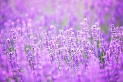 淡紫色领域的美好的图象在ummer日落风景的 免版税库存照片