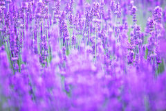 淡紫色领域的美好的图象 库存照片