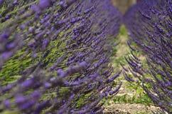 淡紫色领域的行 库存图片