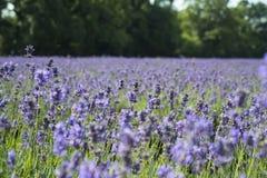 淡紫色领域风景 免版税库存照片
