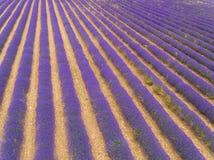 淡紫色领域鸟瞰图在充分的开花的季节的 免版税图库摄影