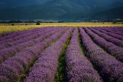 淡紫色领域,在卡赞勒克附近,保加利亚 免版税库存图片