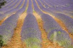 淡紫色领域, Provance,法国 免版税库存图片