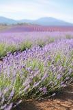 淡紫色领域 免版税库存照片