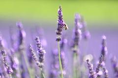 淡紫色领域 库存照片