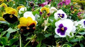 淡黄色黑和witish紫色pinkpansy花 库存照片