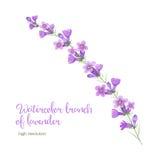 淡紫色水彩分支  免版税库存照片
