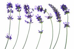 淡紫色(熏衣草属angustifolia) 免版税库存照片