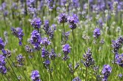 淡紫色[熏衣草属angustifolia] 图库摄影
