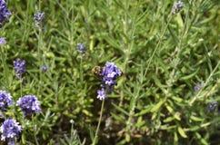 淡紫色[熏衣草属angustifolia] 免版税库存图片