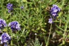 淡紫色[熏衣草属angustifolia] 库存照片