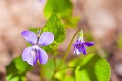 淡紫色紫罗兰精美花  库存照片