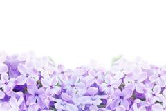 淡紫色紫罗兰色花的宏观图象 库存照片