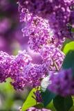 淡紫色紫罗兰 库存图片