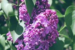 淡紫色紫色春日的精美芽 免版税库存照片