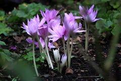淡紫色紫色番红花 免版税库存照片