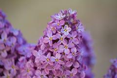 淡紫色紫色花关闭,自然季节性春天花卉背景 免版税库存照片