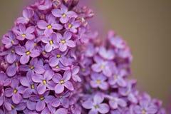 淡紫色紫色花关闭,自然季节性春天花卉背景 免版税库存图片