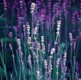 淡紫色细节  库存图片