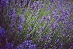 淡紫色-葡萄酒口气 库存照片