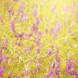 淡紫色 免版税库存照片