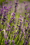 淡紫色 库存照片