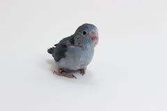 淡紫色Forpus的小鸡 库存图片