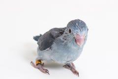 淡紫色Forpus的小鸡 免版税库存照片