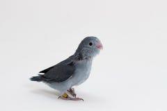 淡紫色Forpus的小鸡 库存照片