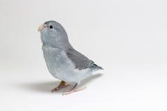 淡紫色Forpus长尾小鹦鹉,鸟 图库摄影