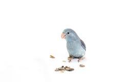 淡紫色Forpus,长尾小鹦鹉,鸟 免版税图库摄影