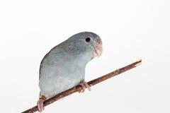淡紫色Forpus,长尾小鹦鹉,鸟 库存照片