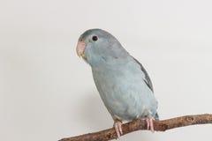淡紫色Forpus,长尾小鹦鹉,鸟 免版税库存照片