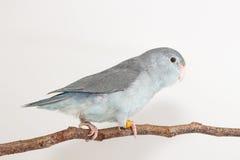 淡紫色Forpus,长尾小鹦鹉,鸟 图库摄影