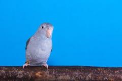 淡紫色Forpus,长尾小鹦鹉,鸟 库存图片