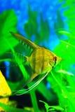 淡水被剥离的,轻的神仙鱼 免版税库存照片