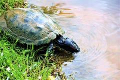 淡水被绘的乌龟 免版税库存照片