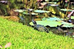 淡水被绘的乌龟 图库摄影