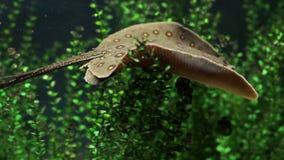 淡水黄貂鱼 影视素材