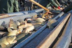 淡水鱼排序 免版税库存图片