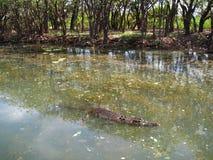 淡水鳄鱼,澳大利亚 免版税库存图片